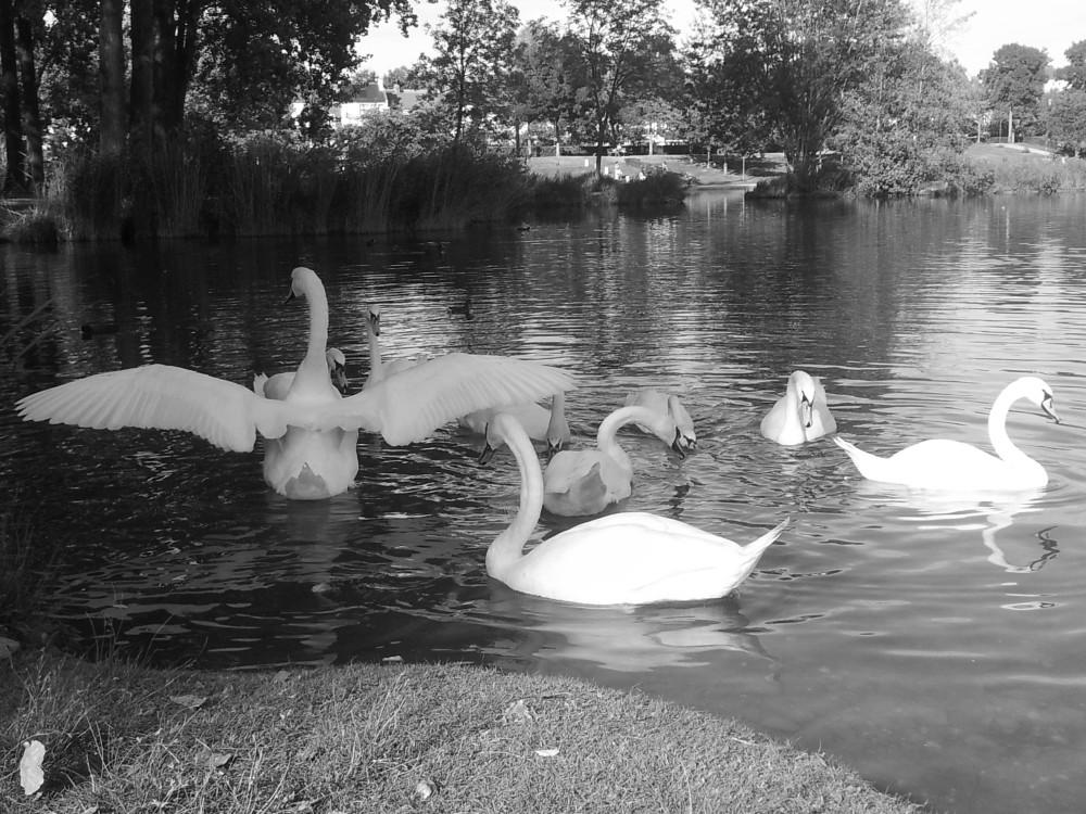 Les cygnes de Parc Saint Pierre à Amiens.