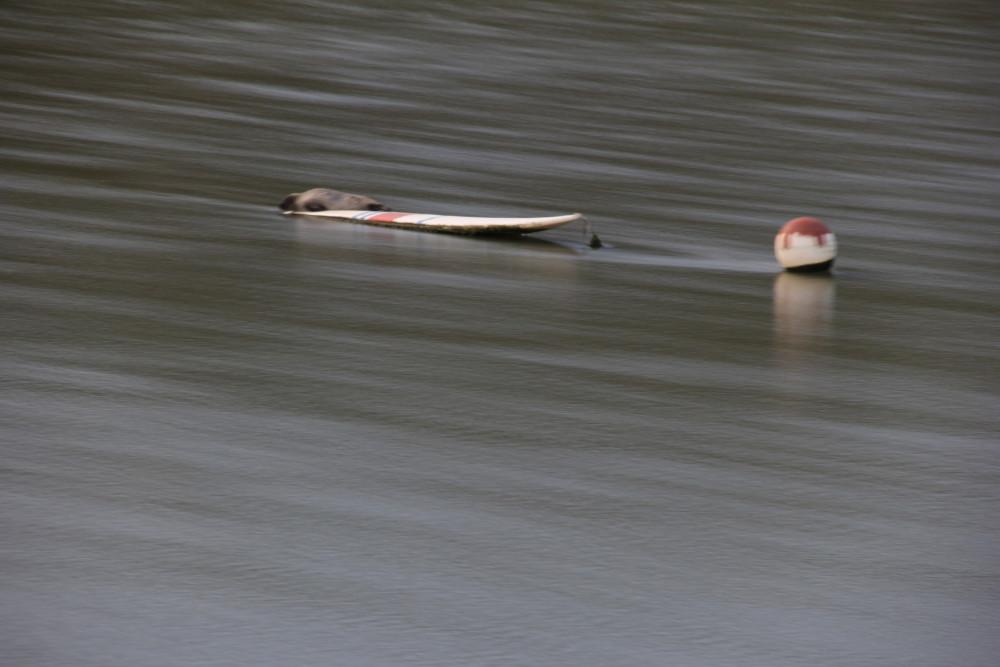 phoque en baie de somme avec filtre gris neutre