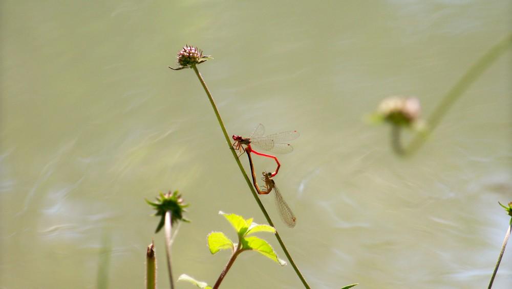 Que la nature est belle, des libellules que s'accouplent, elles forment un coeur. PHOTO PRISE AVEC UN REFLEX